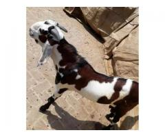 Nice desi red and white bakra donda FOR sale in good amount