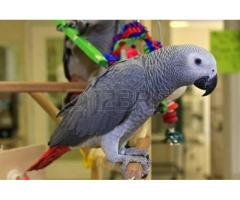 100 % DNA Tasted and trained parrots, amazons and cockatoos for sale