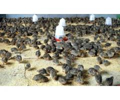 Quails (Batair) in Islamabad and Rawalpindi