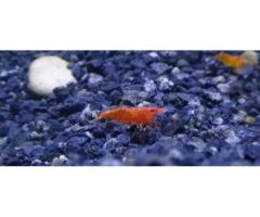 Beautiful red cherry shrimp for sale in good amount