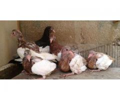 English Magpies Chicks for sale