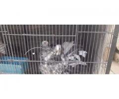 Fancy pigeons: satinette, moltes, for sale