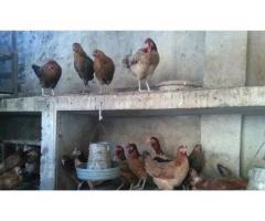 Golden masree dasee Hens for Organic egg production