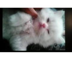 Pure persian kitten Available for sale in good amount