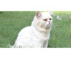 Extreme Punch Male Persian Cat FOR sale in good amount