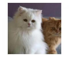 White female Persian Kitten doll faced FOR sale