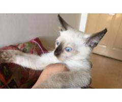 Siamese kitten FOR sale in good amount