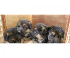 Original Cute and loving German shepherd pair Puppies for sale