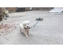 Russian pup for sale in good amount