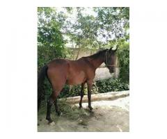 Dancer horse..age 2year  for sale