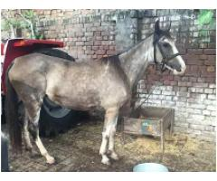 Horse for salet for sale