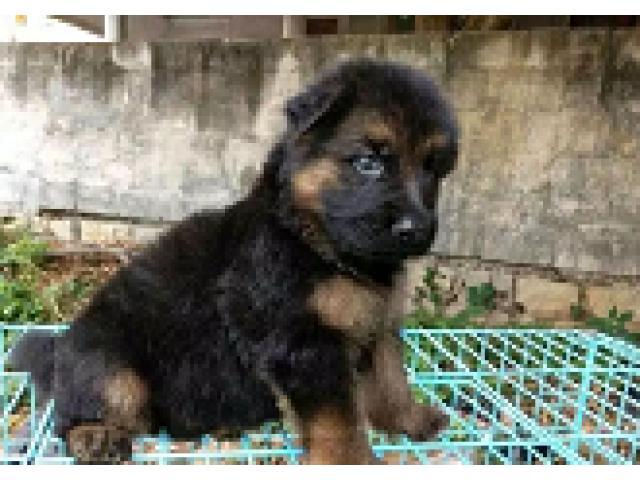 Attractive Look German shepherd Male/female Puppies