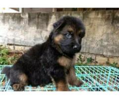 Attractive Look German shepherd Male/female Puppies available for SALE