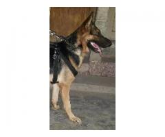 Gsd top quaility male for sale