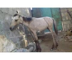 Horse kid male for sale