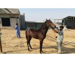 Afridi cattle horse kid for sale