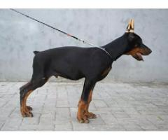 Doberman male pup for sale