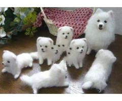 Japanese Spitz puppies available for sale