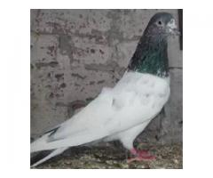 Pigeon Dove, Low Price I See the details. for sale