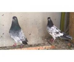 Ferozpuri quality pigeon pair available for sale