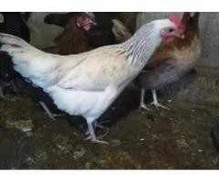 Sab ghar has breed ha Egg Laying Hens Available for sale