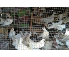 Laka pigeons available in different colors large quantity for sale