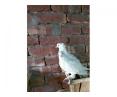 Pigeons Frill back 4 big Pc 2 Pairs for sale in good amount