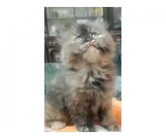 Punch face female kitten age 5 weeks for sale