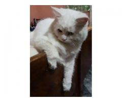 cat for sale in good amount please call me Urgent