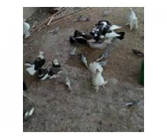 Lakka birds for sale