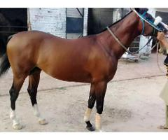 Pedigree horse for sale