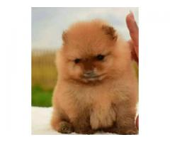Teacup dog Pomeranian puppies For you beautiful look
