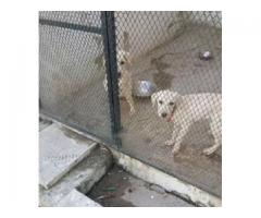 Labrador Male and Female for sale health is fine and also price is reasonable