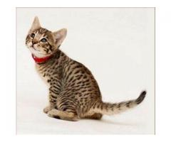 Gorgeous Savannah Kitten for sale