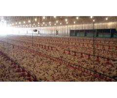 New Poultry Control Sheds 120,000 & 60,000 Chickens In Khanqah Dogran