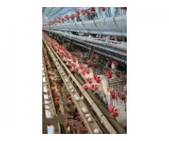 Layer Poultry Control Shed Battery Cage System 140,000 Bird Sargodha