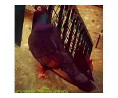 Pigeon Short face for sale