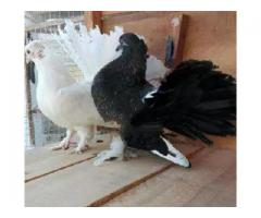 Indian fantail chicks same cultch available