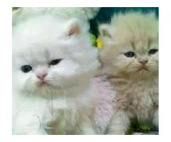 PeRsian Pretty kids for sale in good amount