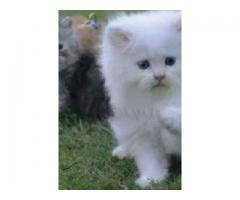 Persian Cute for sale in good amount and good health