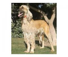 Pure Afghan House Female 18 month for sale