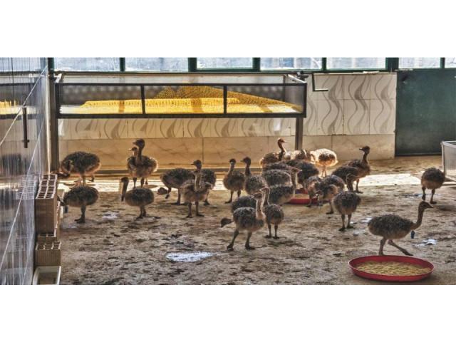 Healthy ostrich chicks, hatching eggs