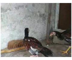Pure aseel chicks are for sale