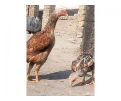 Selling quality aseel hen for sale