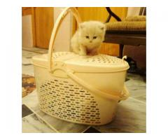 Rushain cat Extremely Beautiful Just For 35000 In  Peshawar, Khyber Pakhtunkhwa