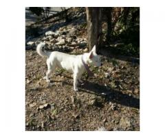 Russain Dog 1.4 years old Beautiful And Brave For Sale In Islamabad