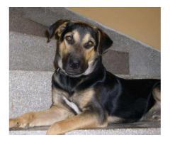 Male dog rottweiler cross german shepherd For Sale Rawalpindi Pakistan