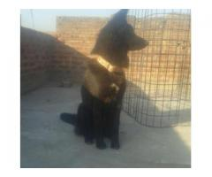 Belgian sheferd dog Very Intelligent For Sale  Gujranwala, Punjab
