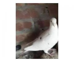 I want to sell my white german beauty pied pair