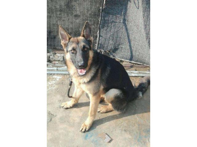 Beautiful and Healthy Dog For Sale In Rawalpindi Rawalpindi